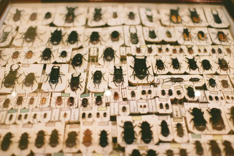 Pinned beetle specimens