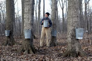 Maple syrup collection in Wisconsin