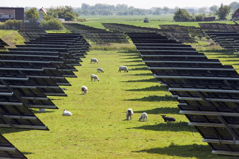 sheep grazing amonst a field of solar panels