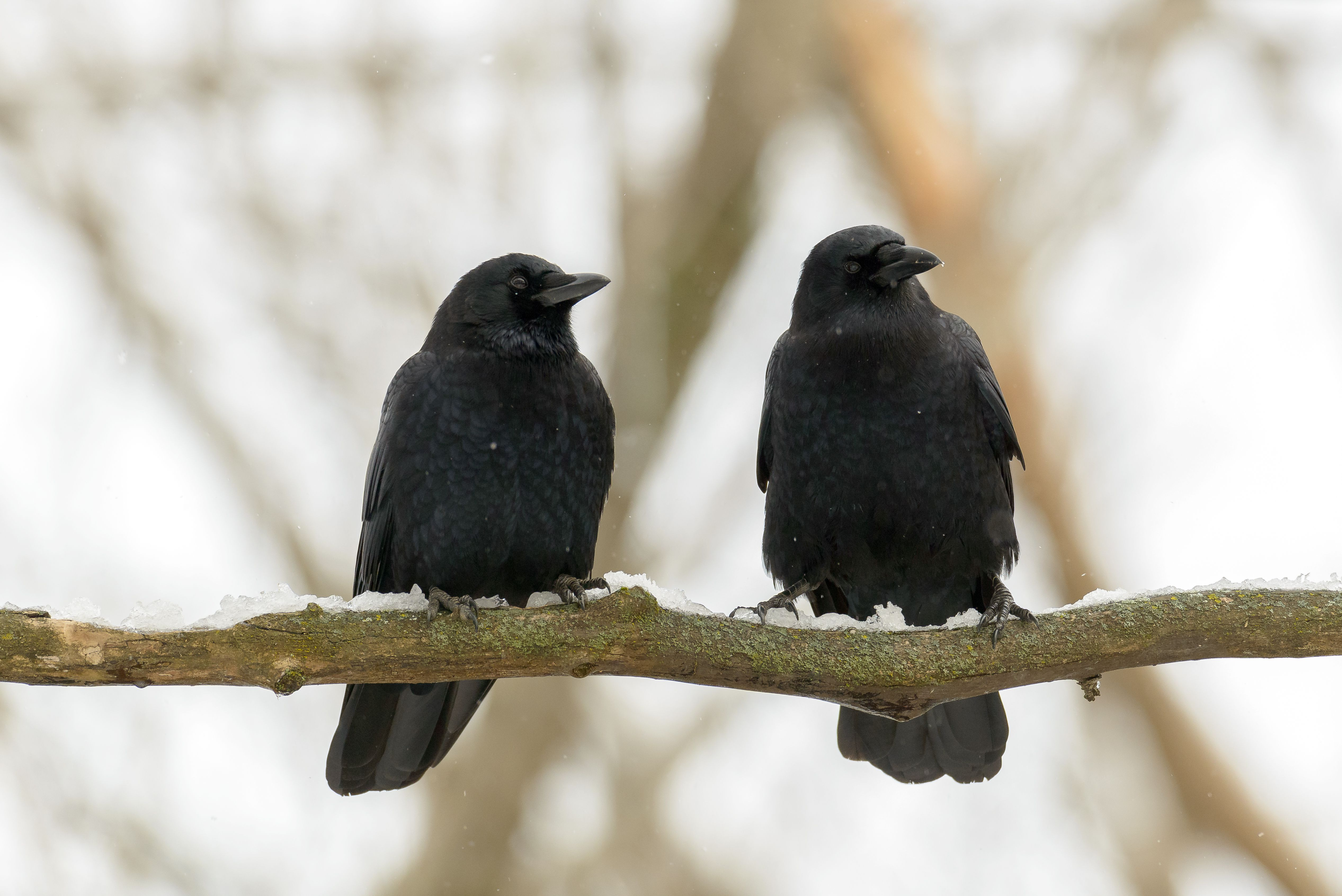 9 Ways Crows Are Smarter Than You Think