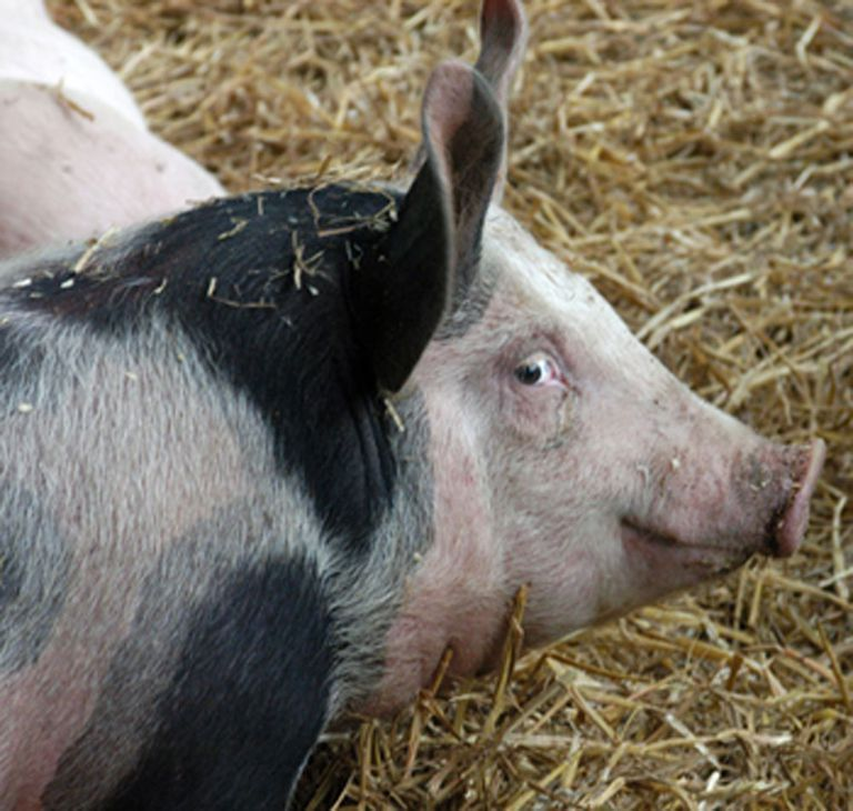 European domestic pigs, descendants of the European wild boar.