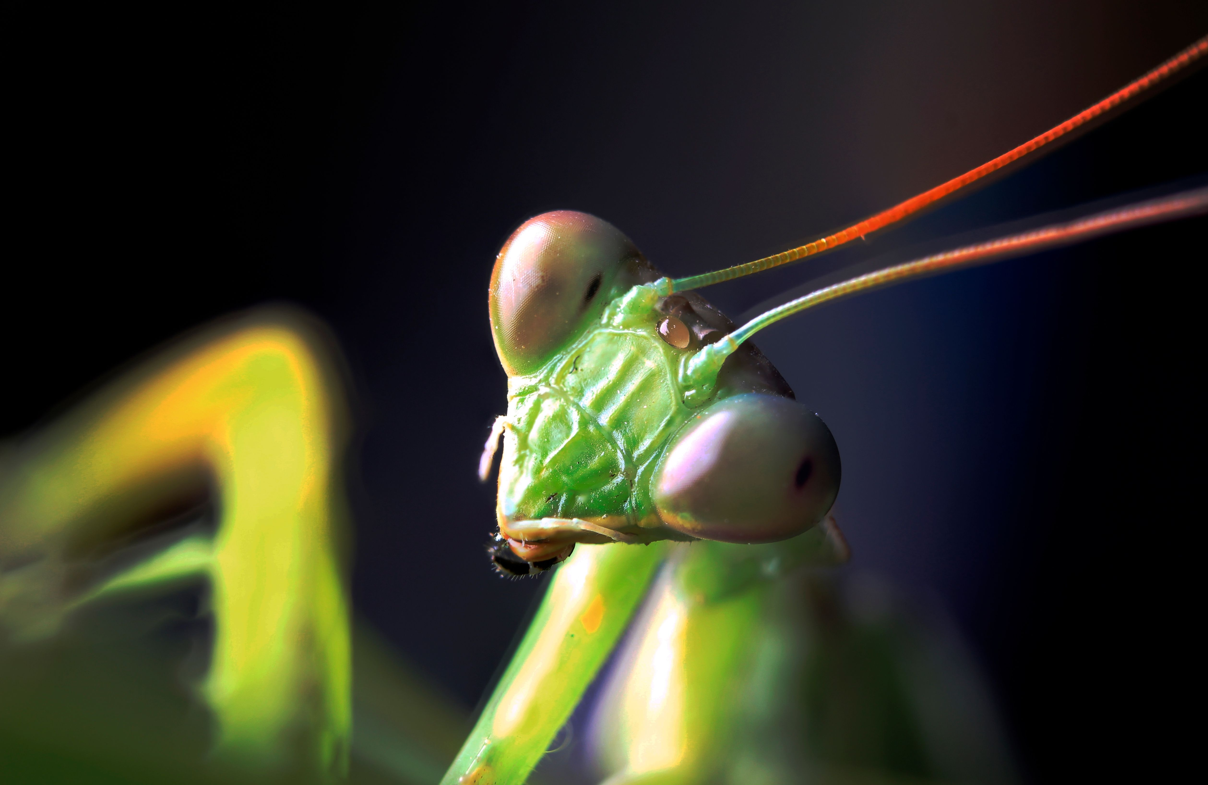 If you're truly terrified of black widows, consider keeping a praying mantis as a pet.