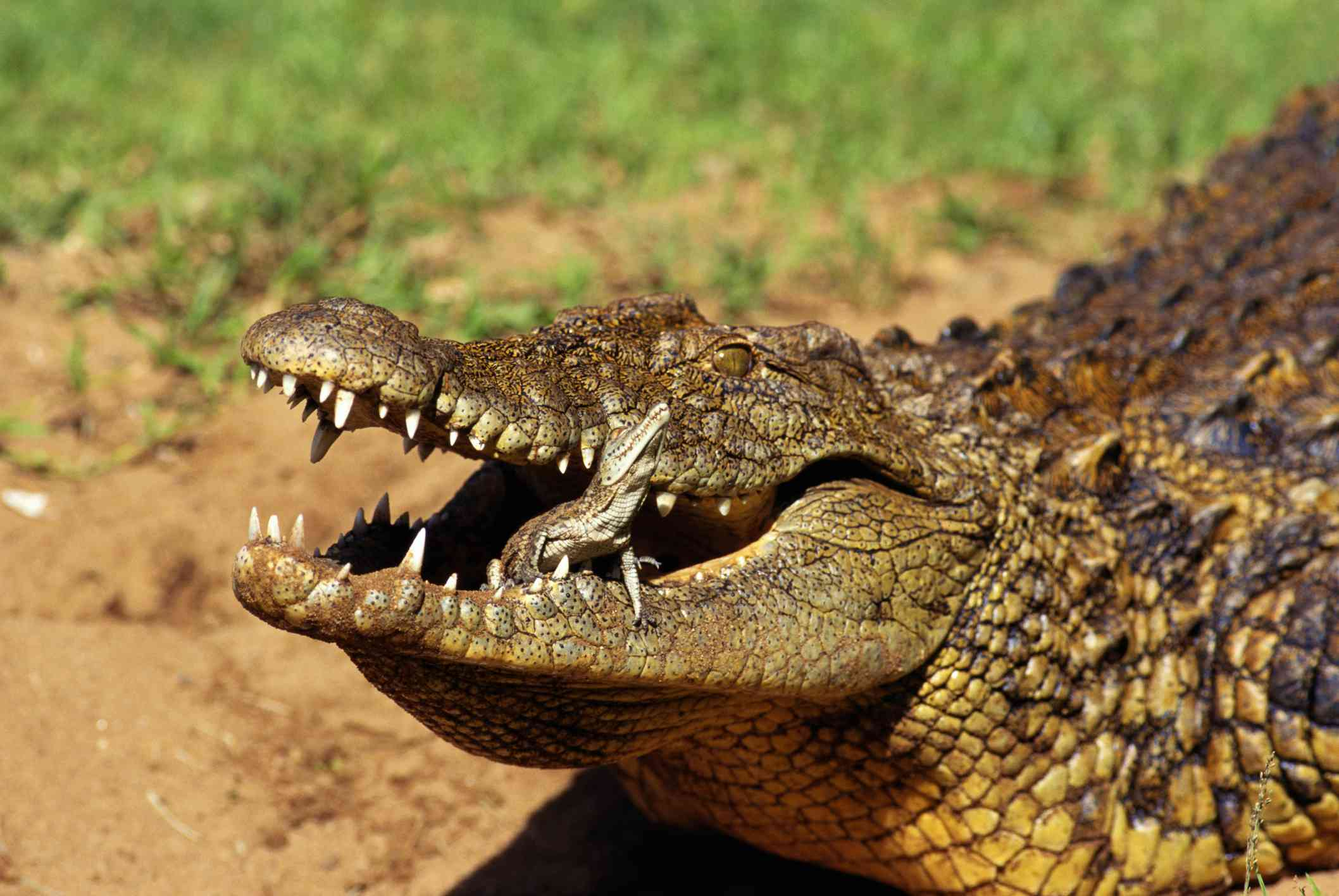 Crocodile carrying young in her mouth