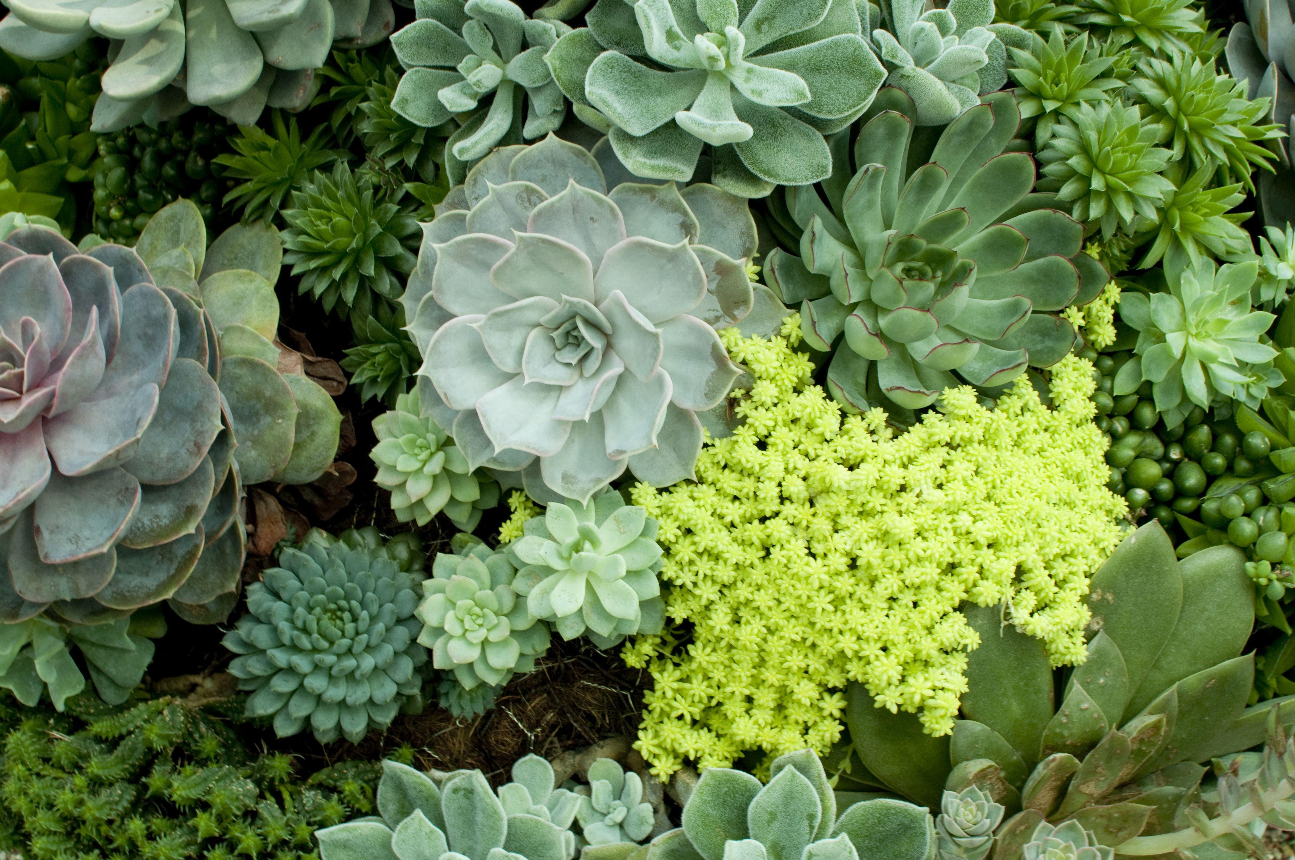 Las plantas CAM todavía realizan la fotosíntesis, pero solo absorben dióxido de carbono por la noche.