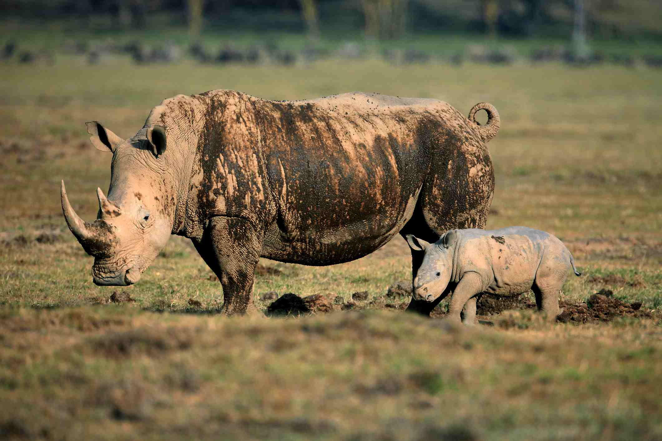 Female rhino with cub