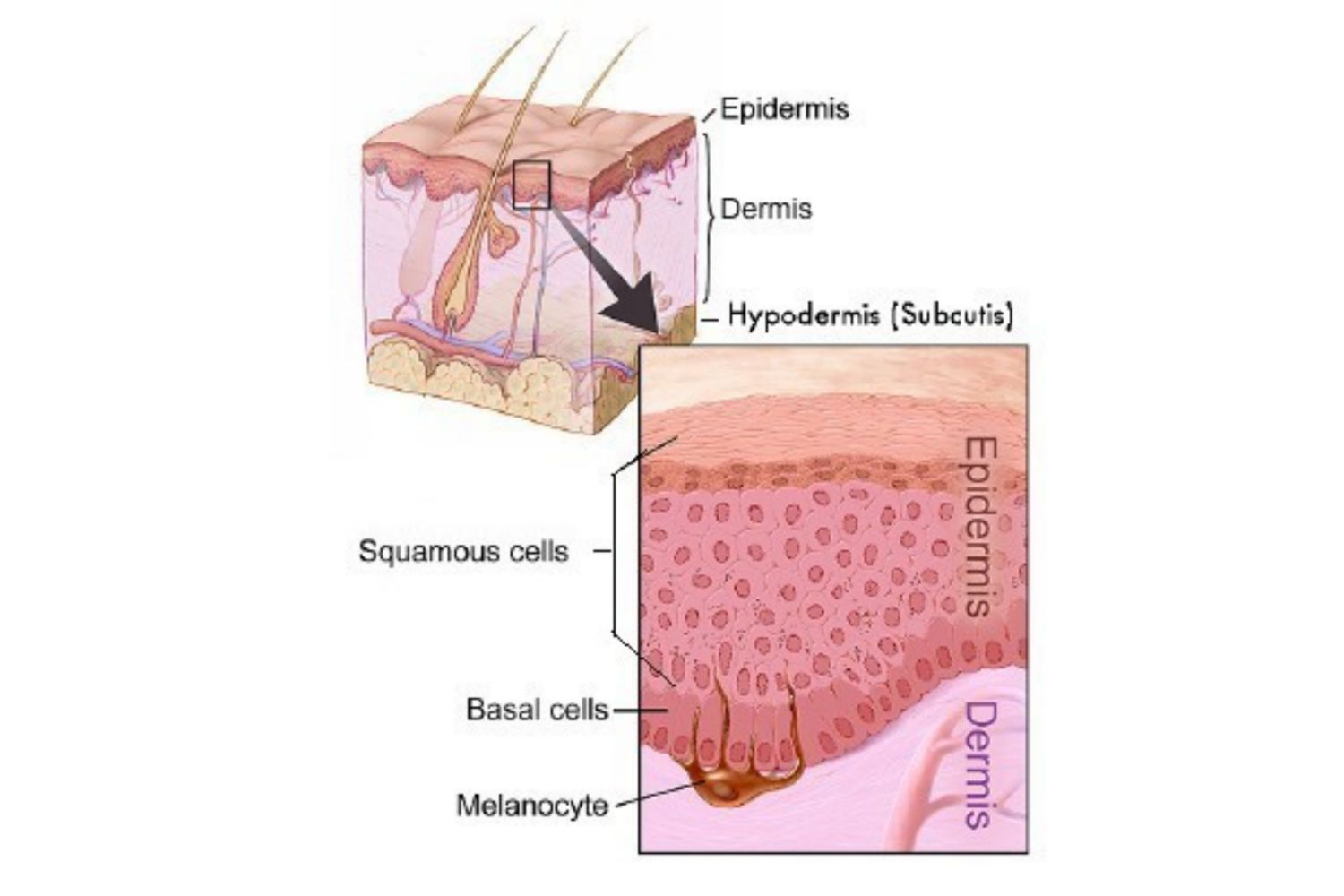 The Layers Of The Integumentary System
