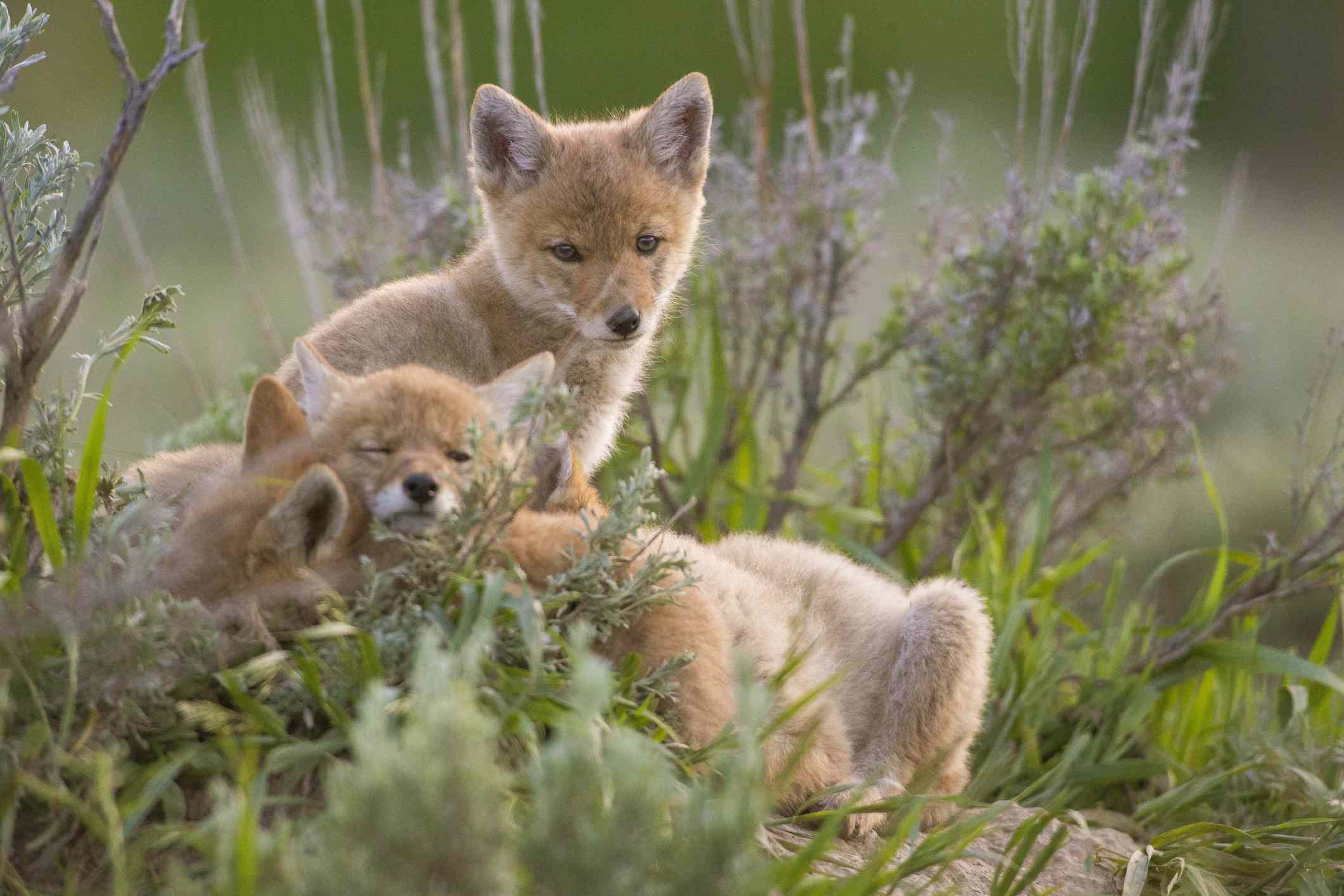 Coyote pups resemble fox or wolf pups.