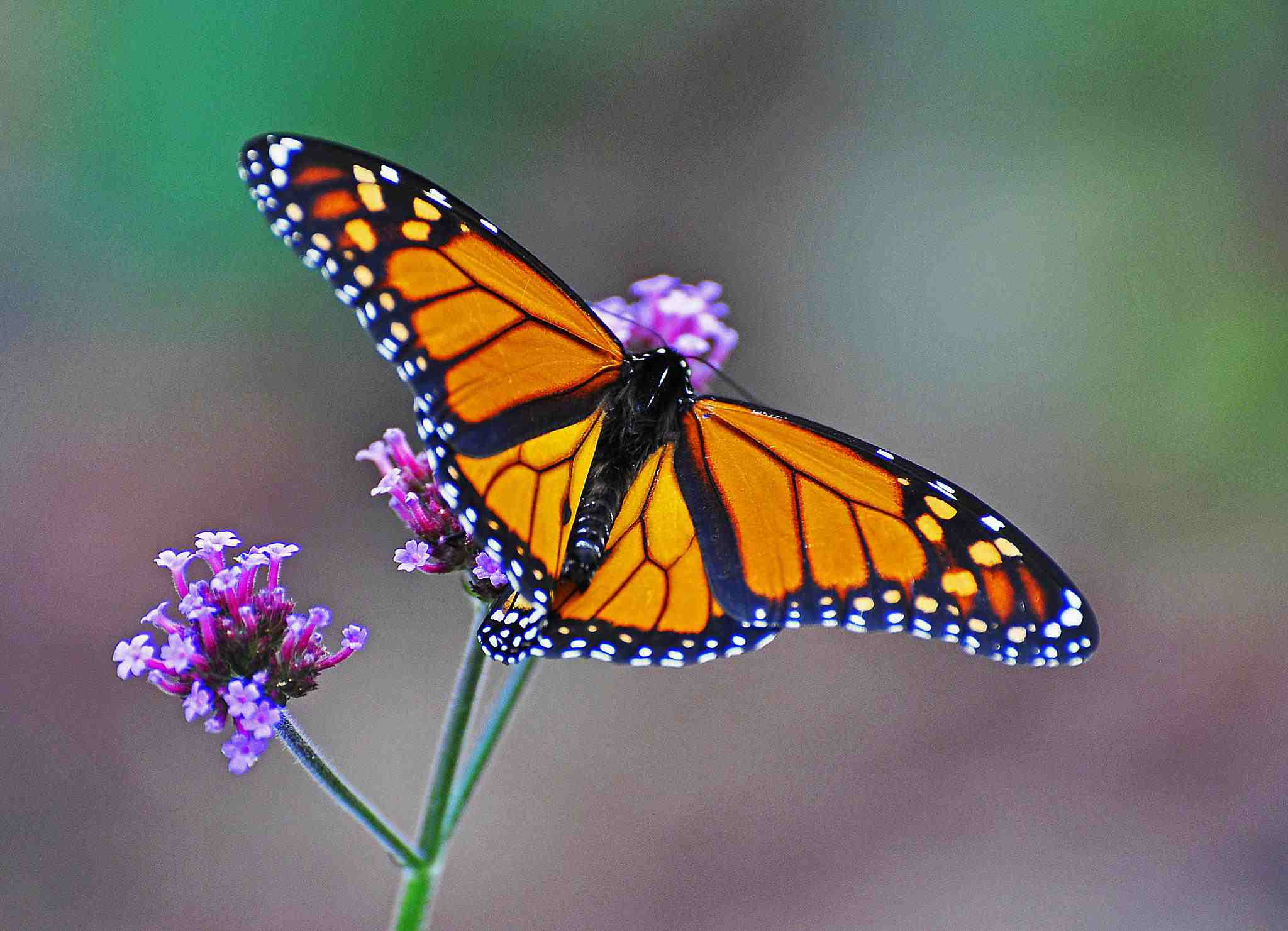 Monarchs stop for nectar along the migration path to gain body fat for the long winter.