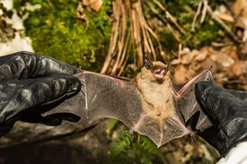 A wildlife biologist checks the wings of a big brown bat for signs of white nose syndrome.