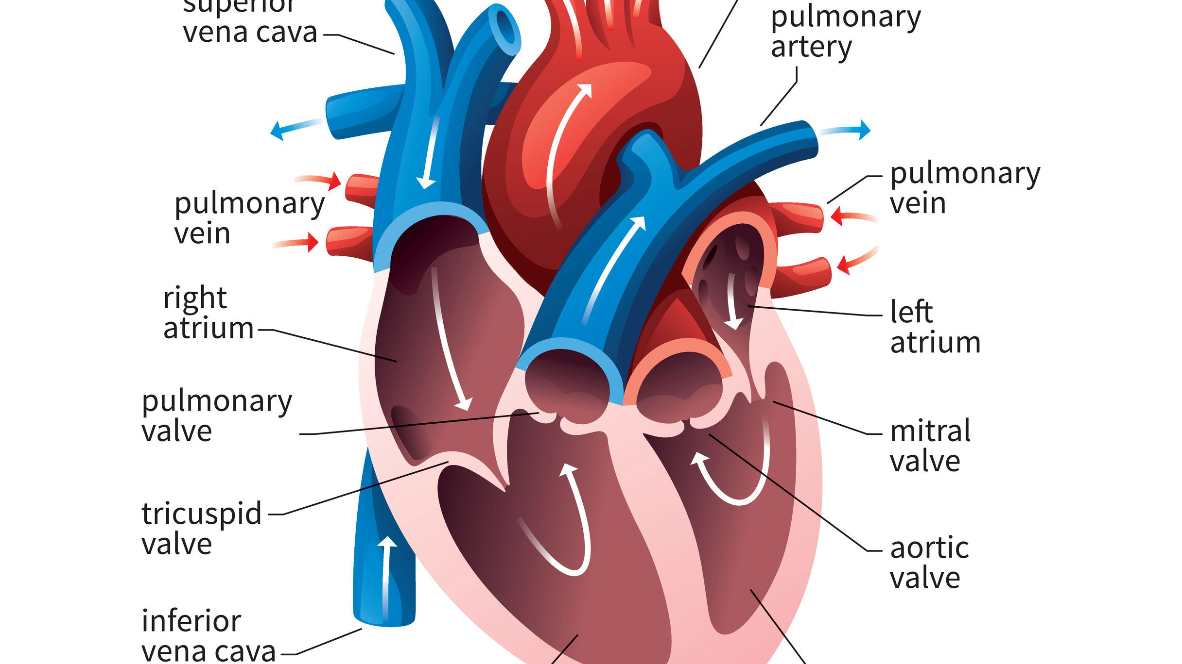How Many Chambers Does A Fish Heart Have - slidesharetrick