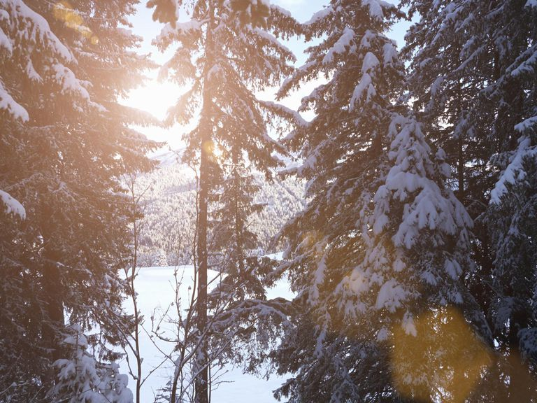 Sunburst through snow covered trees