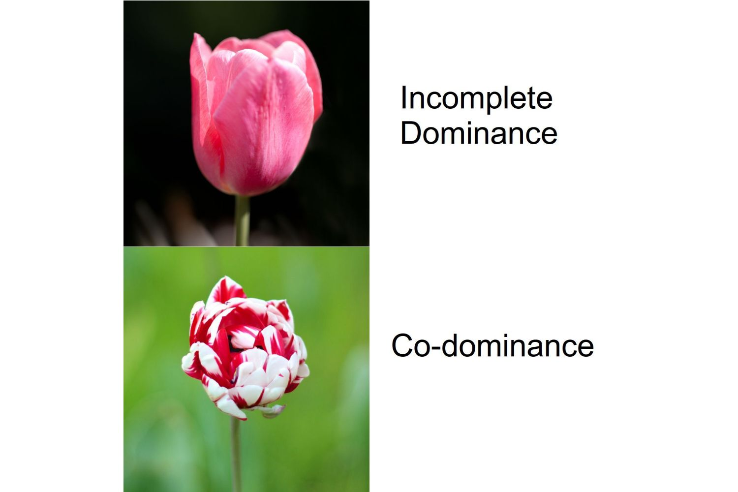 What Is Genetic Dominance And How Does It Work