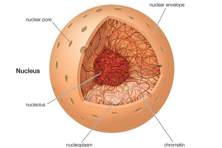 The nucleus definition structure and function cell nucleus ccuart Image collections