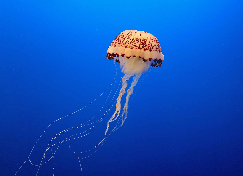 Los grupos de neuronas alrededor de una campana de medusa le permiten procesar 360 grados de información sensorial.