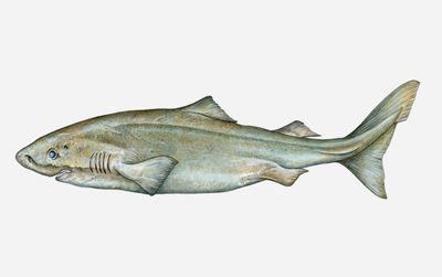 Interesting Bull Shark Facts (Carcharhinus leucas)