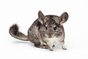 Adult domestic chinchilla