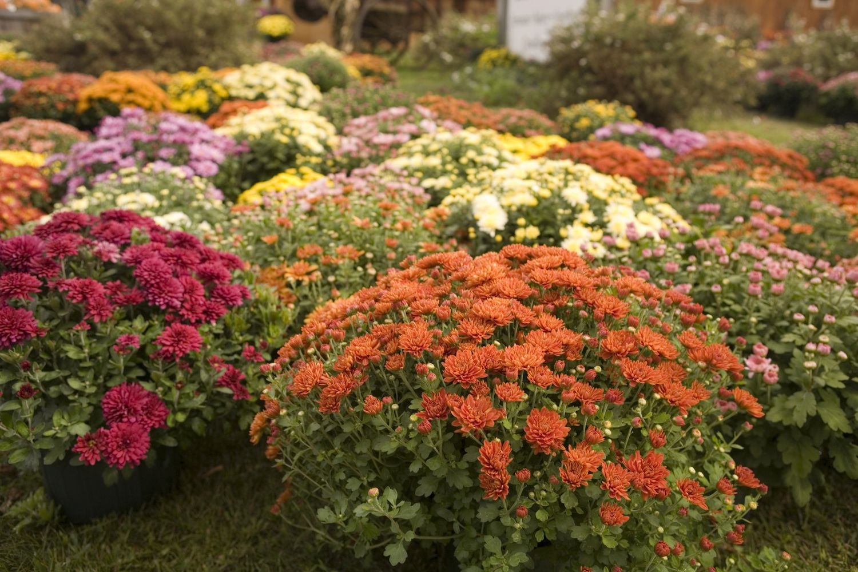 Chrysanthemum Folklore Magic