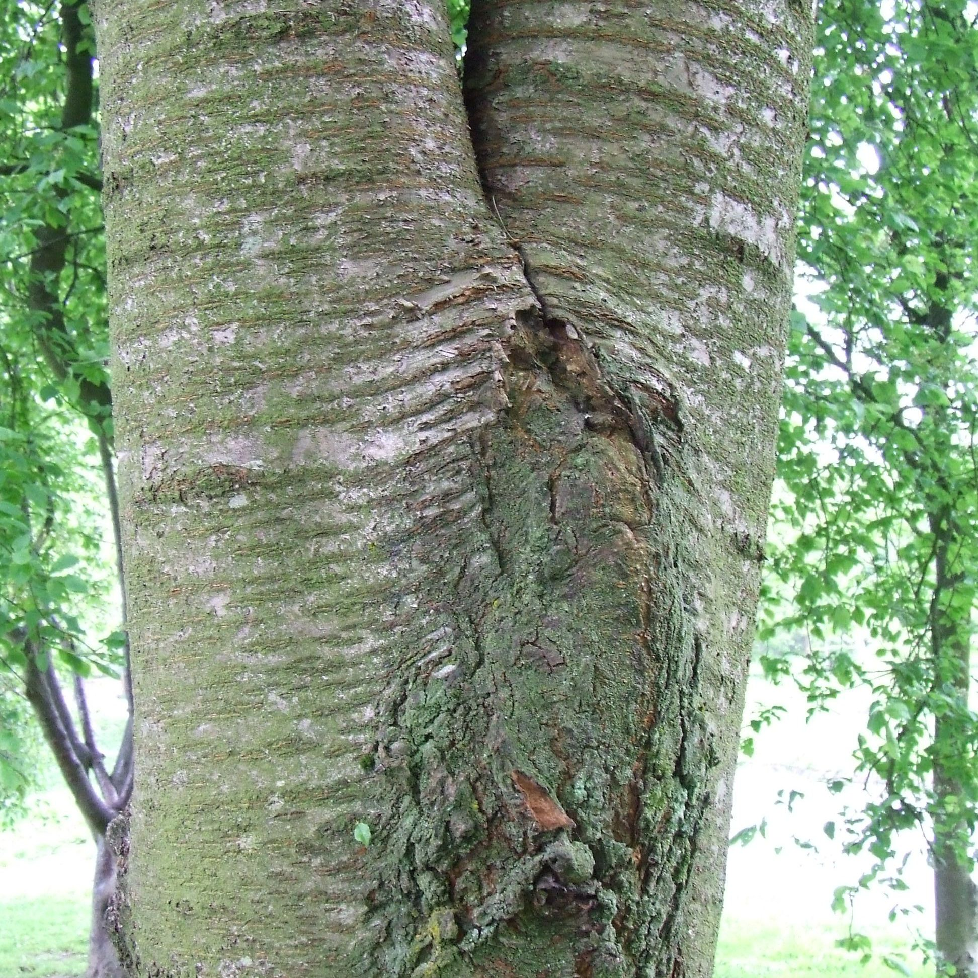 Problems With Included Tree Bark