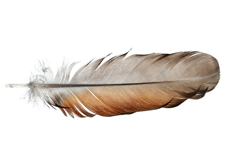 Feather Feather Anatomy And Function