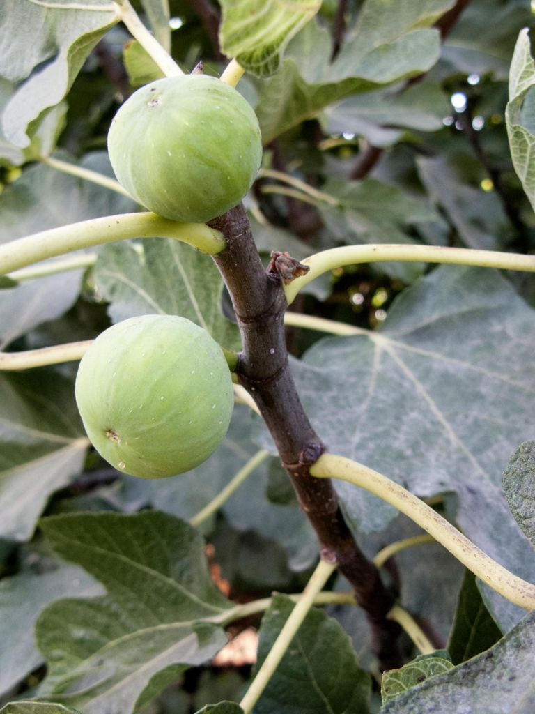 Young green figs growing on a tree, Crete
