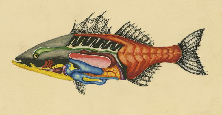 Drawing of the anatomy of osteichthyes