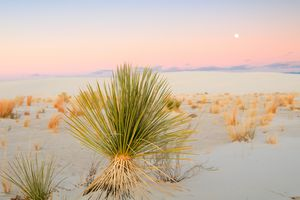 Lonely Yucca below moon rise