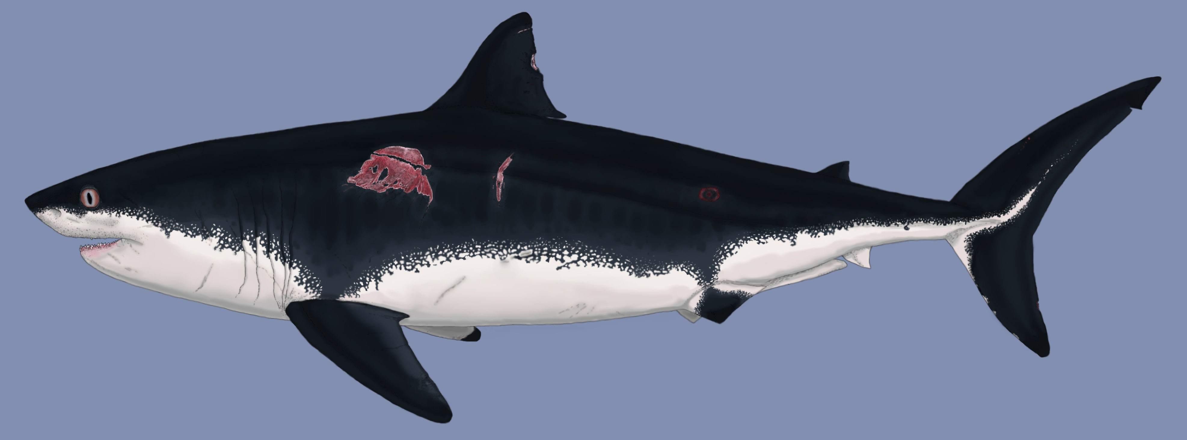 Cretoxyrhina ginsu shark