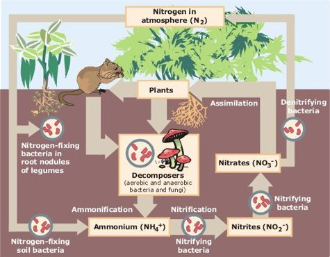 Bacteria are key players in the nitrogen cycle.