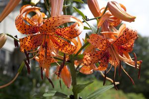 Orange tiger lily flowers.