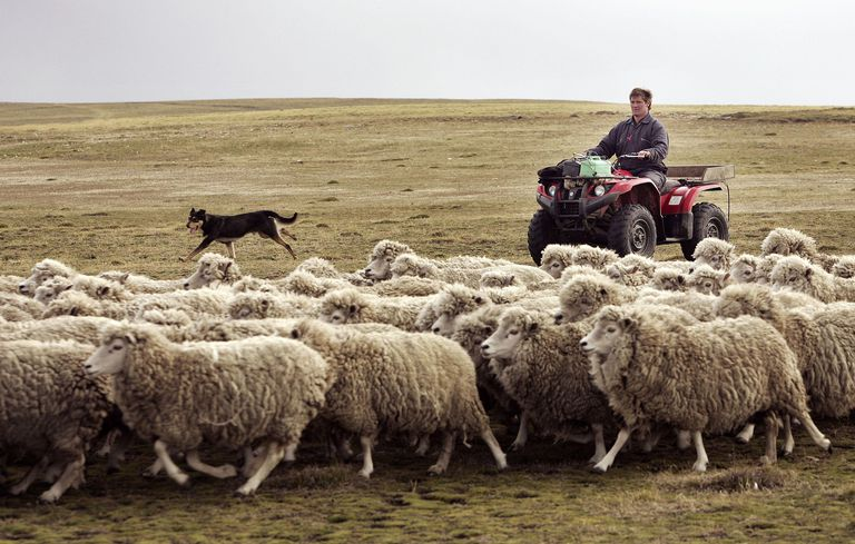 man rounds up sheep using his dog and a quad bike at North Arm, Falkland Islands