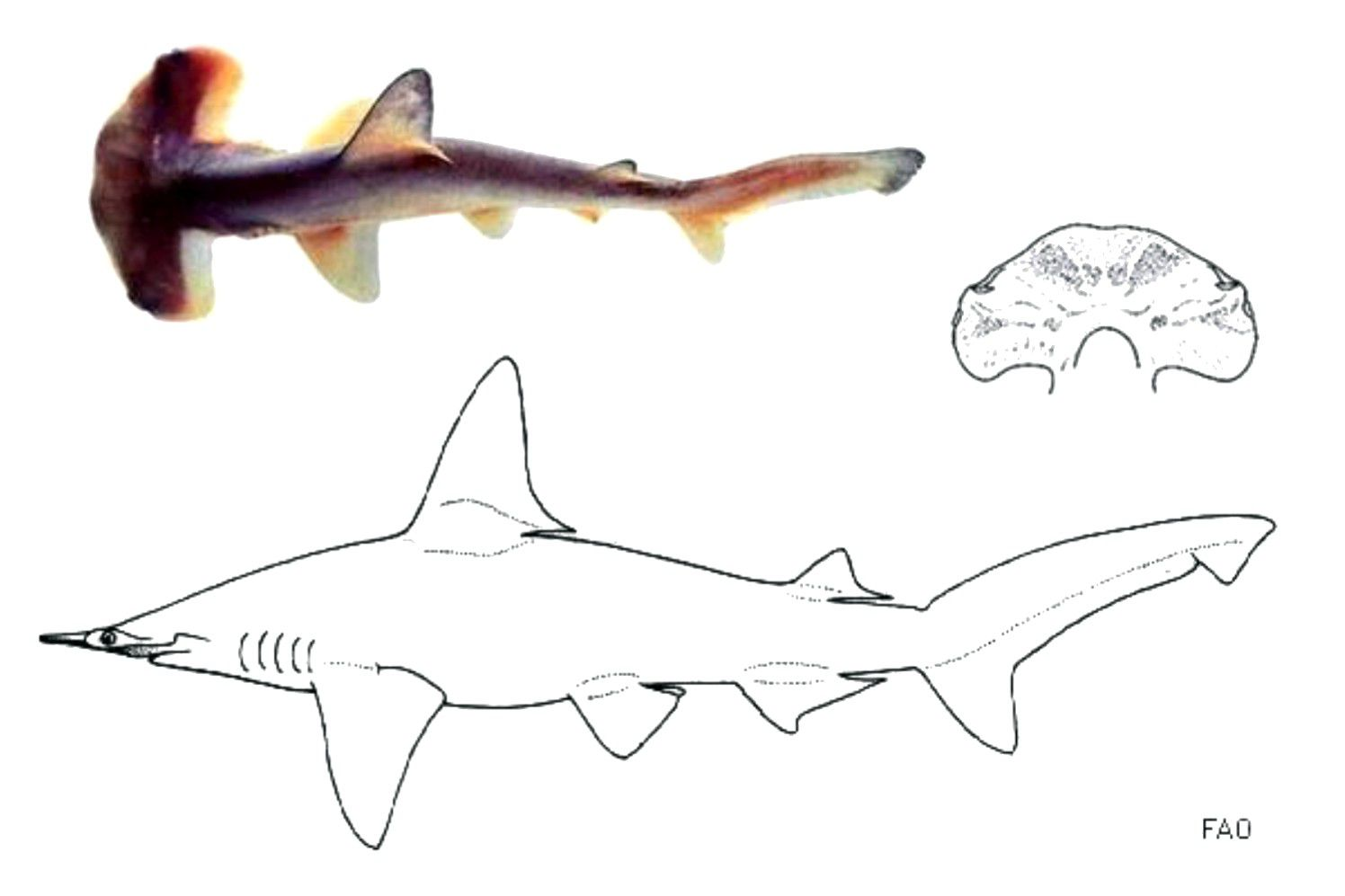 Different depictions of the smalleye shark