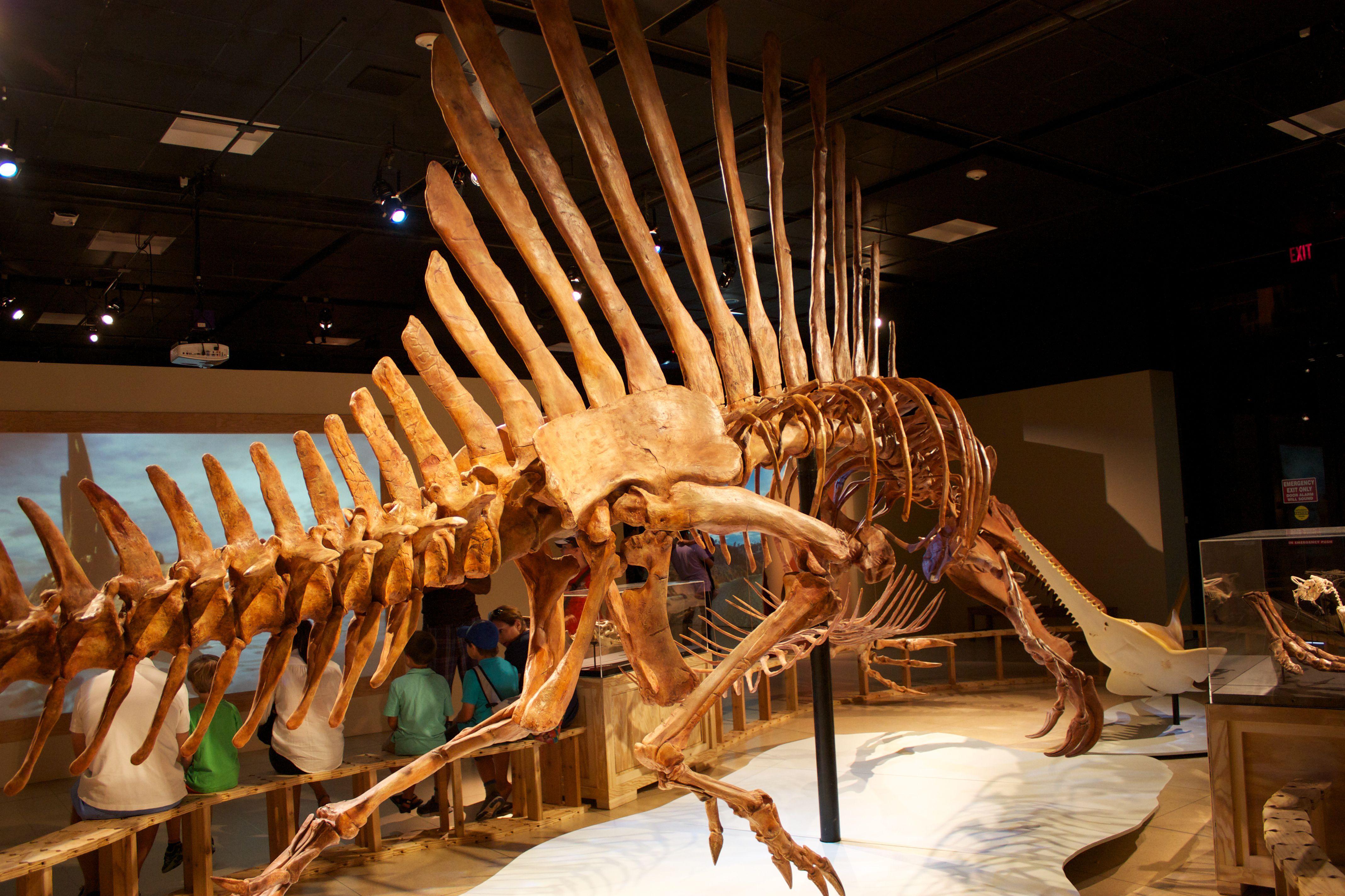 Spinosaurus skeleton