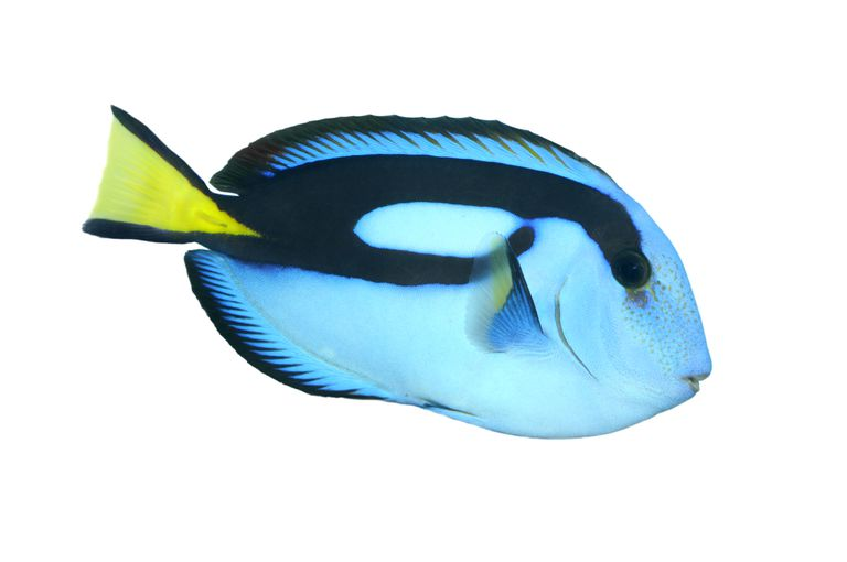 Blue Tang Facts: Habitat, Diet, Behavior