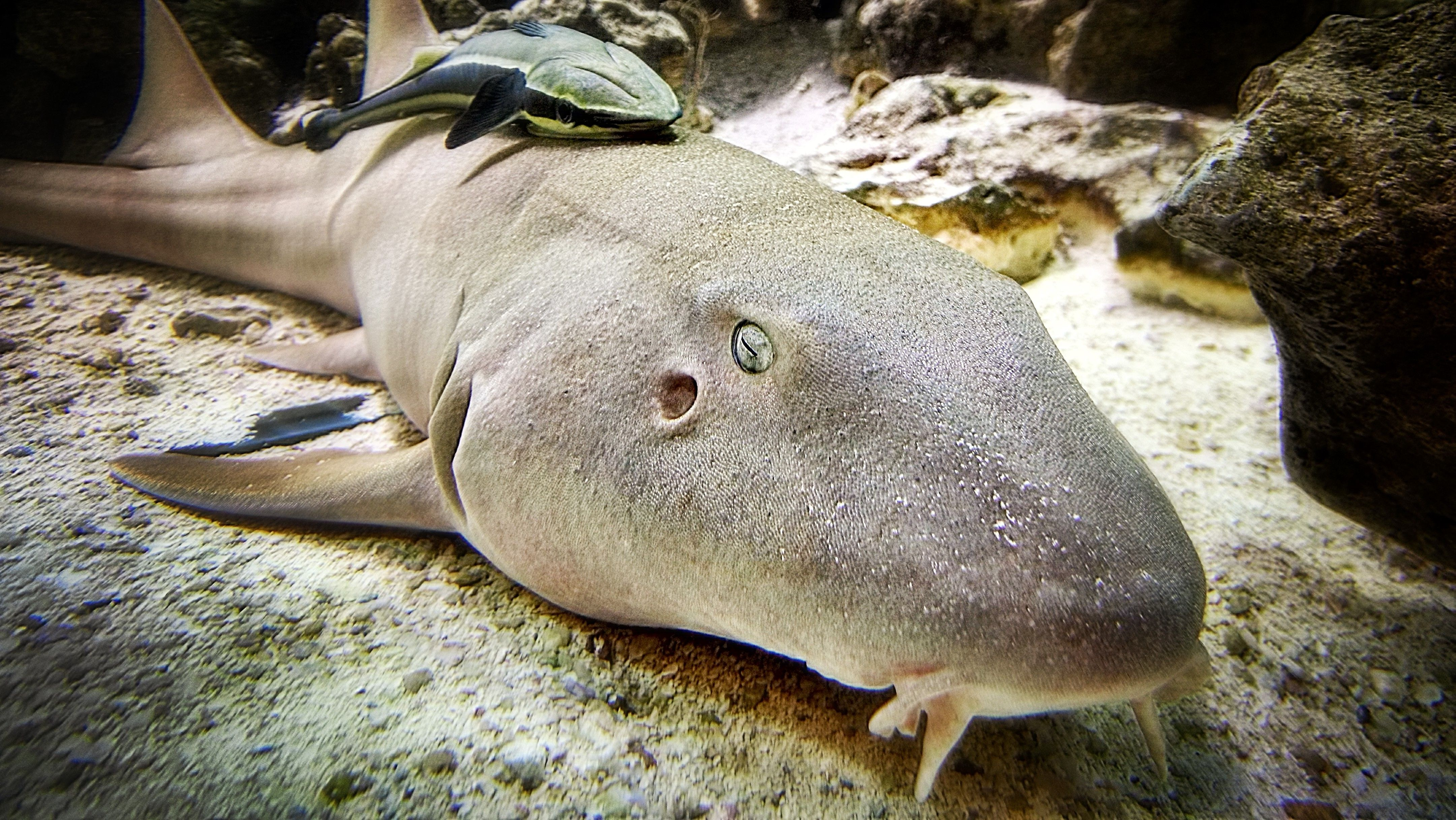 Nurse Shark Facts Description Habitat And Behavior