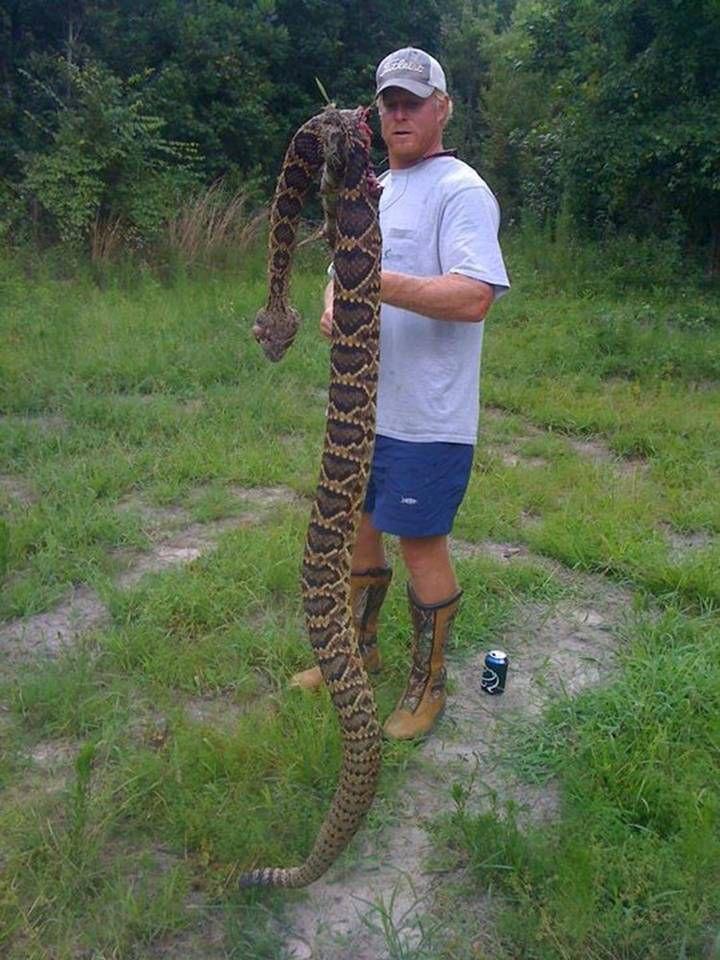 Giant Texas Rattlesnake