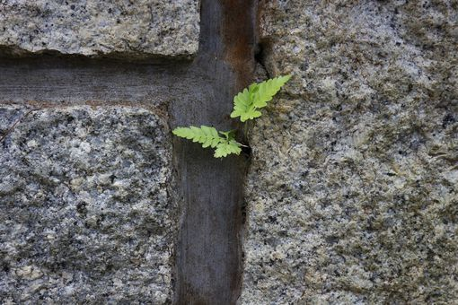 Young tree in stone wall