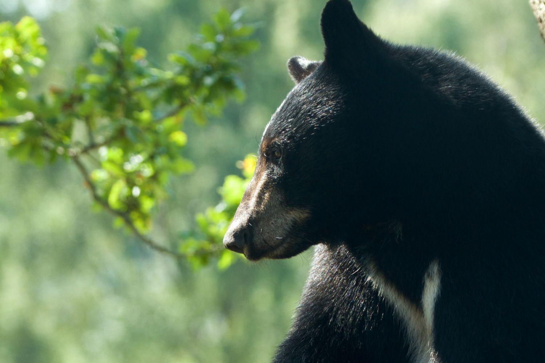 American black bear sitting in an oak tree