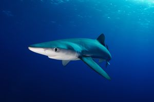 The upper or dorsal surface of the blue shark is blue in color.