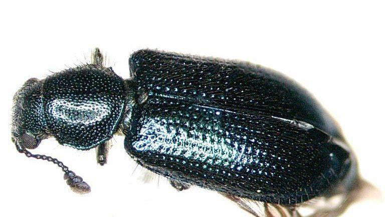 Beetles That Eat Bodies Carrion Feeding Beetles