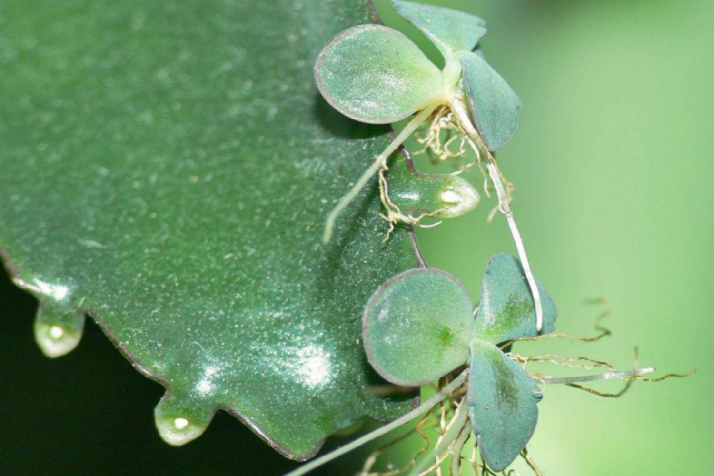 Kalanchoe - Plantlets