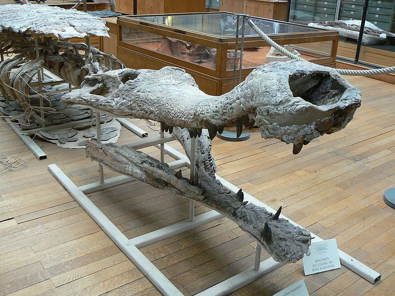 Various skeletal pieces of a Sarcosuchus at the Natural History Museum in Paris