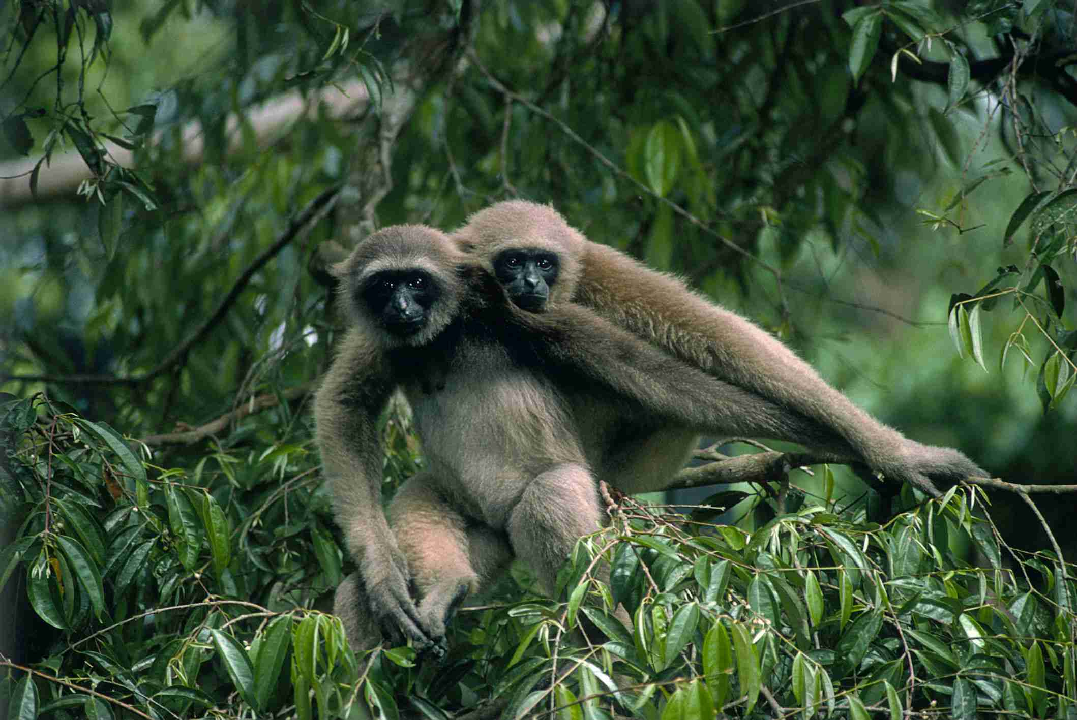 Pair of gibbons resting in a tree.