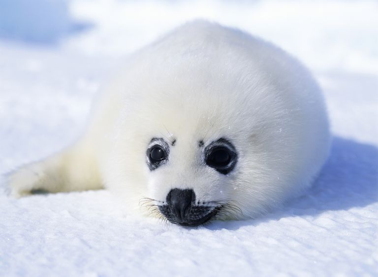 Harp seals are best known for the white fur of their pups.