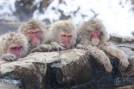 Sleepy Japanese Macaques
