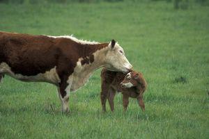 Cow licks a calf in pasture.