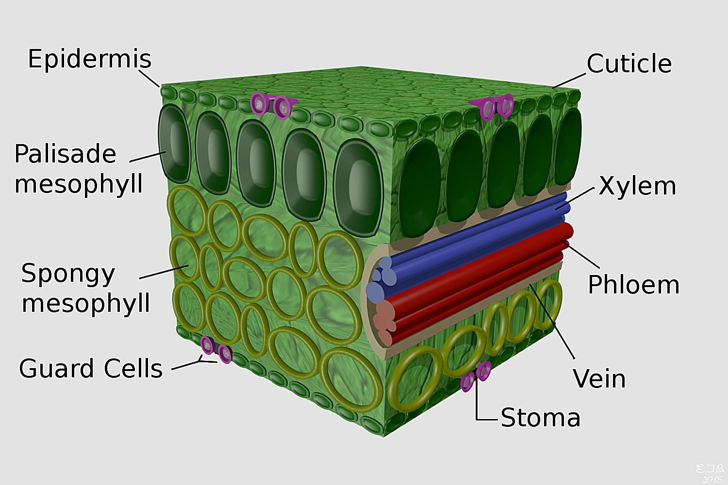 Plant Leaves And Leaf Anatomy Easy Cell Diagram Success