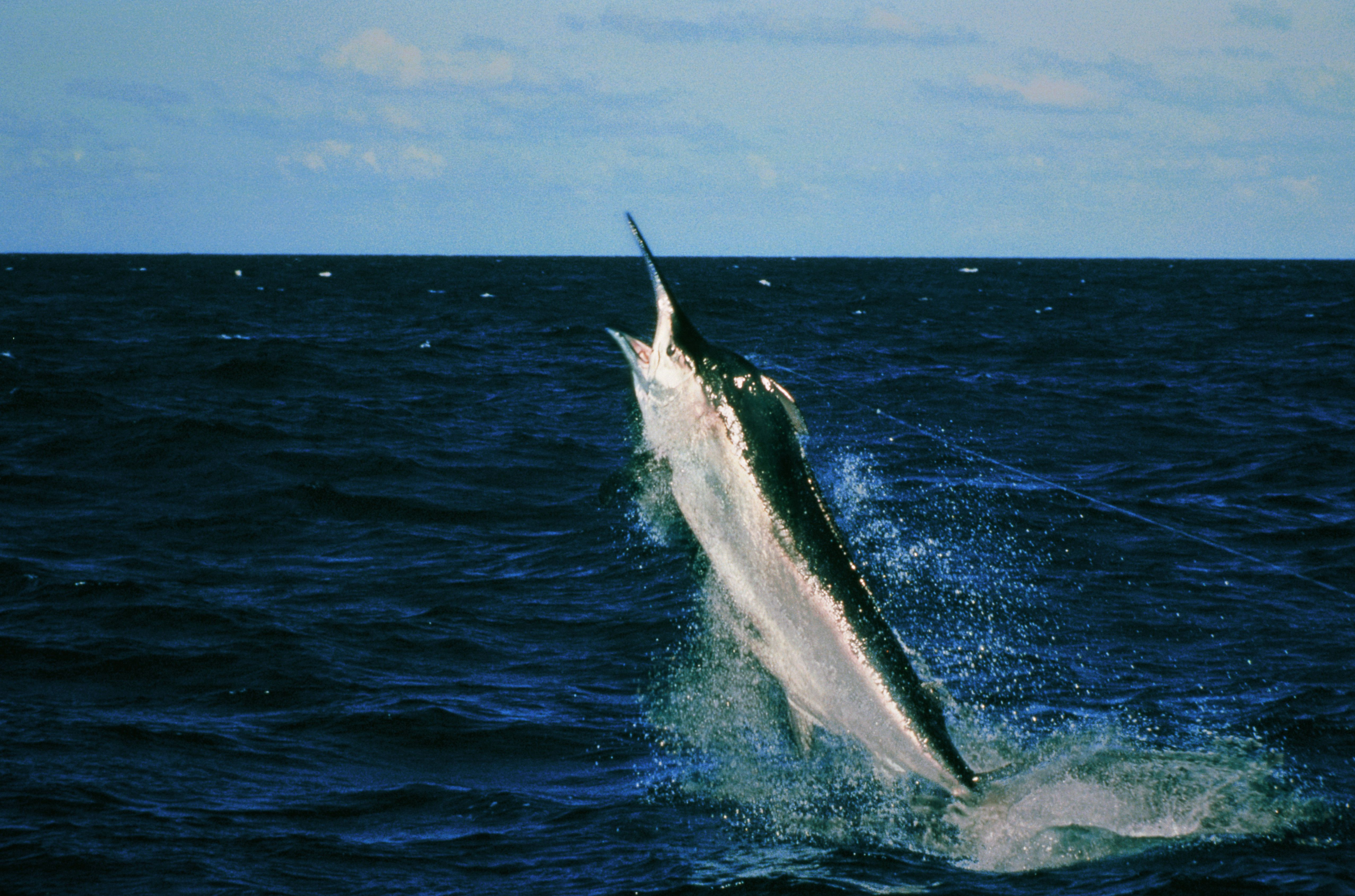 Black Marlin (Makaira indica) struggles against a fishing line