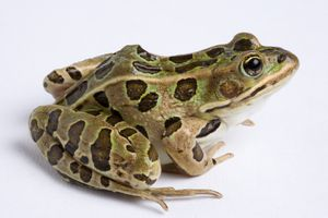 The northern leopard frog is native to North America.