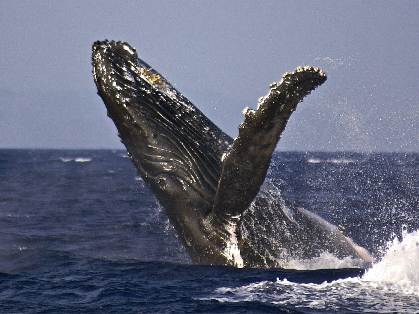 humpback whale 002 56a3b6113df78cf7727ecc92