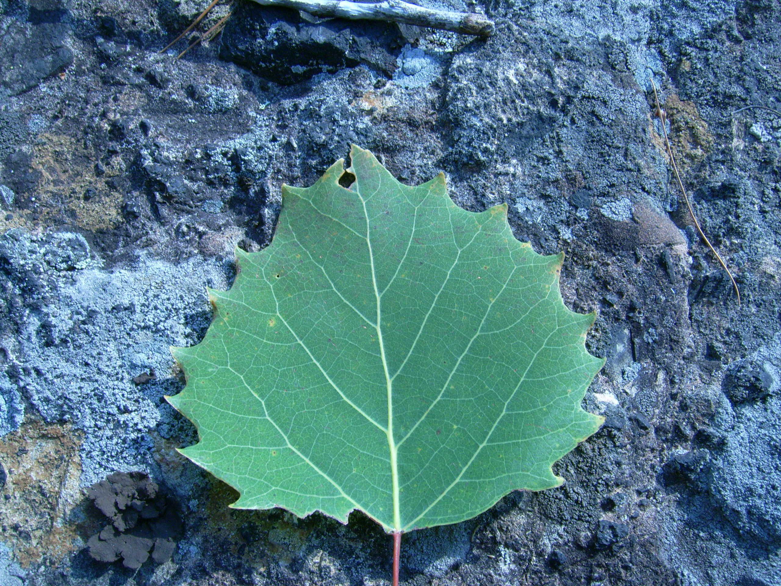 ポプラの木の葉